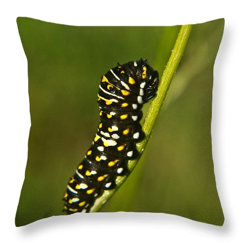 Hymenoptera Throw Pillow featuring the photograph Hymenoptera Larva On Weed 1 by Douglas Barnett