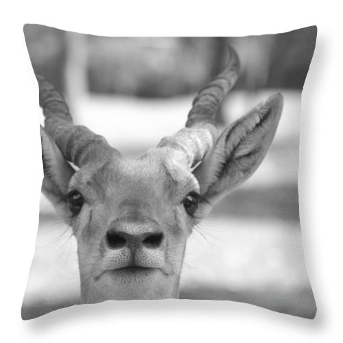 Impala Throw Pillow featuring the photograph Impala -black And White by Douglas Barnard