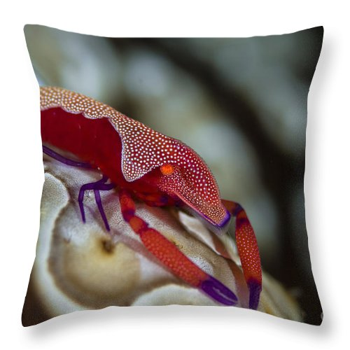 Arthropod Throw Pillow featuring the photograph Imperator Commensal Shrimp On Eyed Sea by Todd Winner