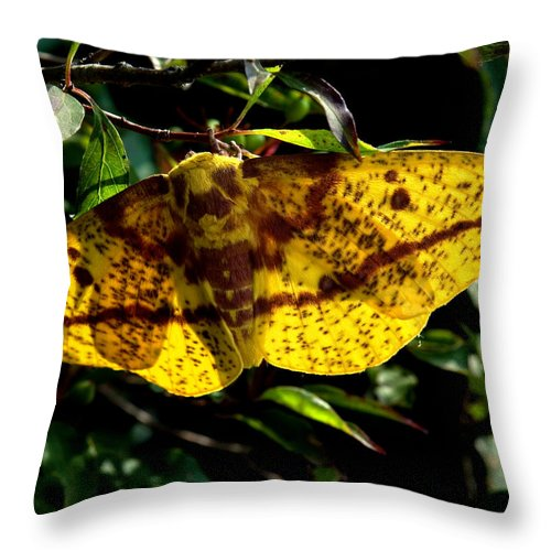 Nature Throw Pillow featuring the photograph Imperial Moth Din053 by Gerry Gantt