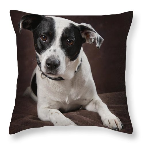 Brown Background Throw Pillow featuring the photograph Jack Russell Terrier On A Brown Studio by Corey Hochachka