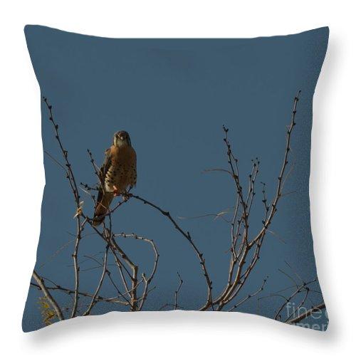 Bird Throw Pillow featuring the photograph Kestrel by Donna Brown