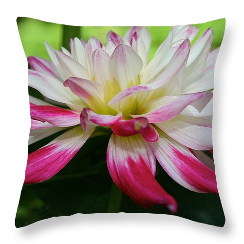 Outdoors Throw Pillow featuring the photograph Kidd's Climax Dahlia by Susan Herber