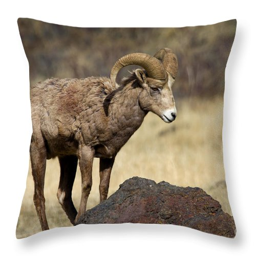Bighorn Throw Pillow featuring the photograph King Of The Rock by Mike Dawson
