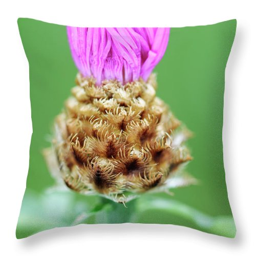 Centaurea Karabaghensis Throw Pillow featuring the photograph Knapweed Flower by Neil Overy