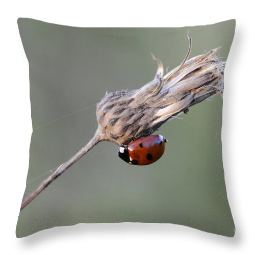 Ladybug Throw Pillow featuring the photograph Ladybug On Dried Thistle by Bob Christopher