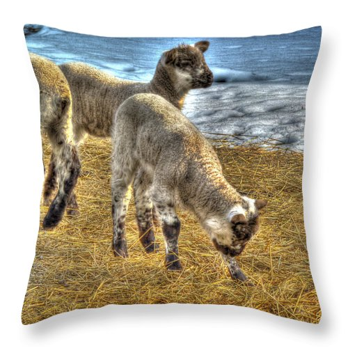 Mairzy Doats Throw Pillow featuring the photograph Liddle Lamzy Divey by William Fields