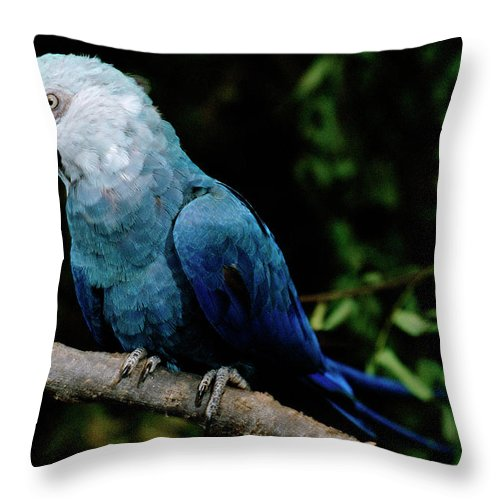 Mp Throw Pillow featuring the photograph Little Blue Macaw Cyanopsitta Spixii by Claus Meyer