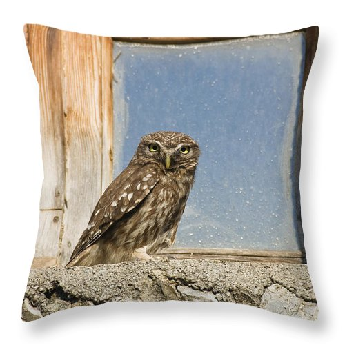 Mp Throw Pillow featuring the photograph Little Owl Athene Noctua On Window by Konrad Wothe