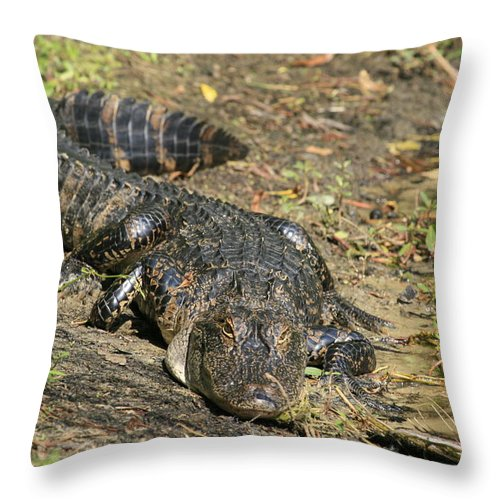 Alligator Throw Pillow featuring the photograph Looking At You by Pat Walsh