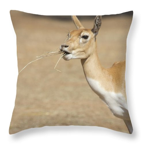 Impala Throw Pillow featuring the photograph Lunchtime by Douglas Barnard