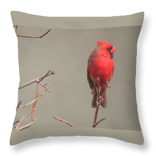 Cardinal Throw Pillow featuring the photograph Male Cardinal On A Branch by Laurel Talabere