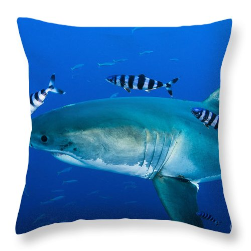 44a8e7b47d7d Carcharodon Carcharias Throw Pillow featuring the photograph Male Great  White Shark And Pilot Fish by Todd