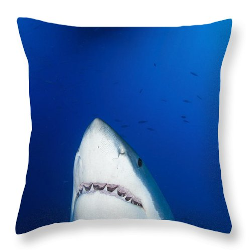 Carcharodon Carcharias Throw Pillow featuring the photograph Male Great White Shark Showing Teeth by Todd Winner