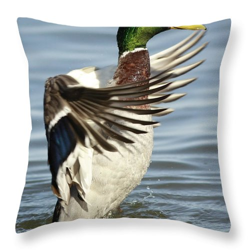 Art Cards Throw Pillow featuring the photograph Mallard Duck Having A Flapping Good Time by Inspired Nature Photography Fine Art Photography