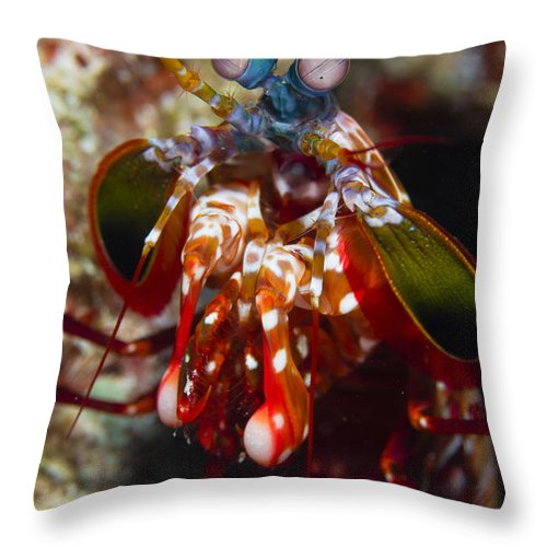 Arthropod Throw Pillow featuring the photograph Mantis Shrimp, Australia by Todd Winner