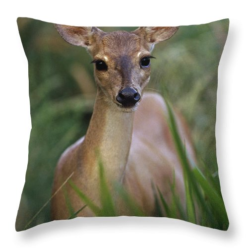 Mp Throw Pillow featuring the photograph Marsh Deer Blastocerus Dichotomus by Claus Meyer