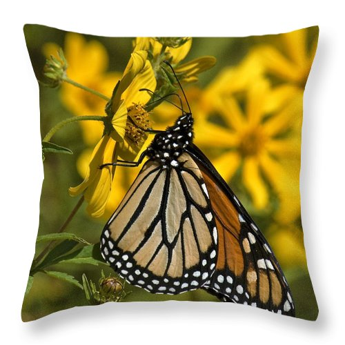 Nature Throw Pillow featuring the photograph Monarch Butterfly On Tickseed Sunflower Din146 by Gerry Gantt