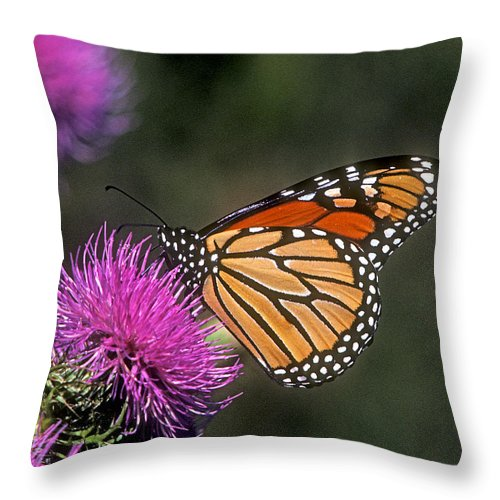 Nature Throw Pillow featuring the photograph Monarch On Thistle 13f by Gerry Gantt