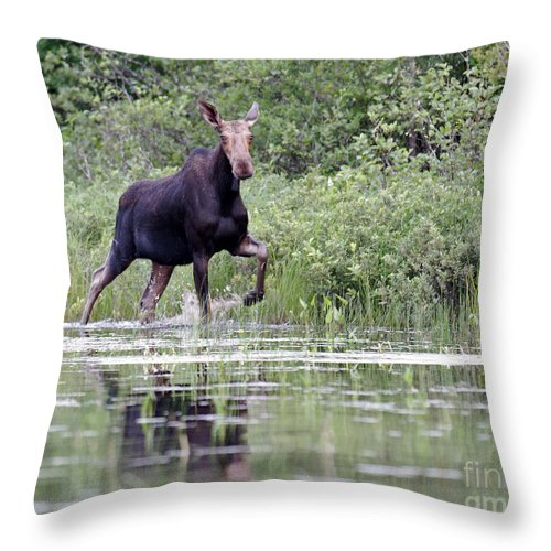 Moose Throw Pillow featuring the photograph Moose On The Move by Lloyd Alexander