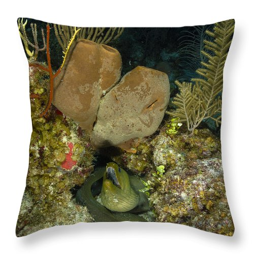 Sea Life Throw Pillow featuring the photograph Moray Eel, Belize by Todd Winner