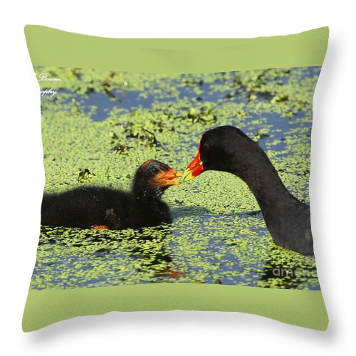 Common Gallinule Throw Pillow featuring the photograph Mother Common Gallinule Feeding Baby Chick by Barbara Bowen