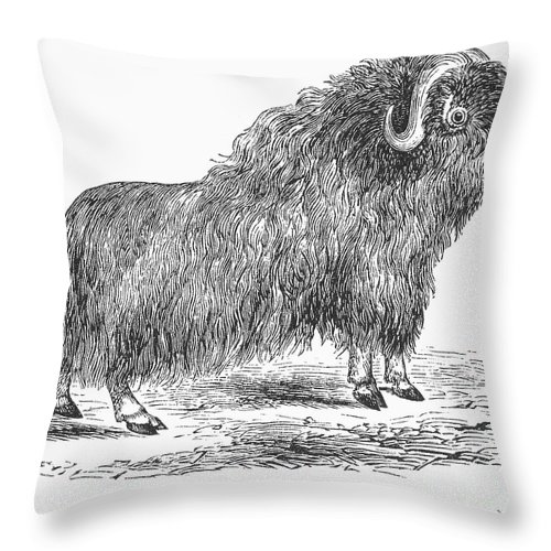 19th Century Throw Pillow featuring the photograph Musk Ox by Granger