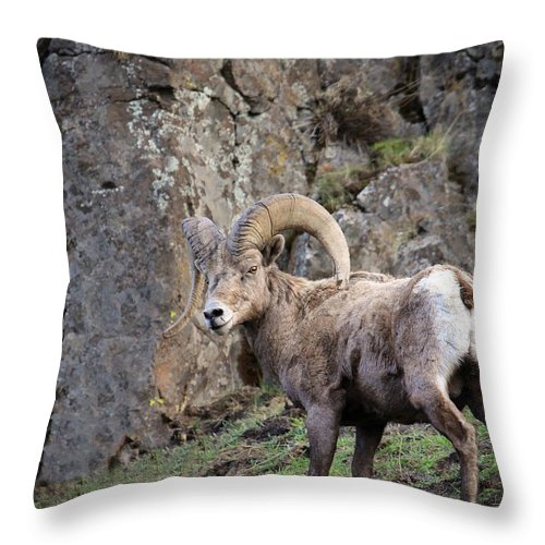 Oregon Bighorn Sheep Throw Pillow featuring the photograph My House by Steve McKinzie