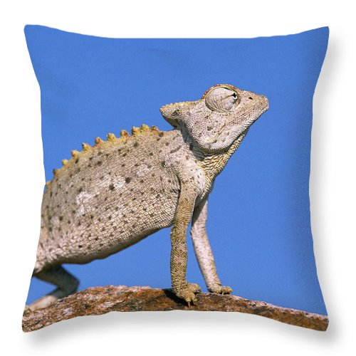 Fn Throw Pillow featuring the photograph Namaqua Chameleon Chamaeleo Namaquensis by Ingo Arndt