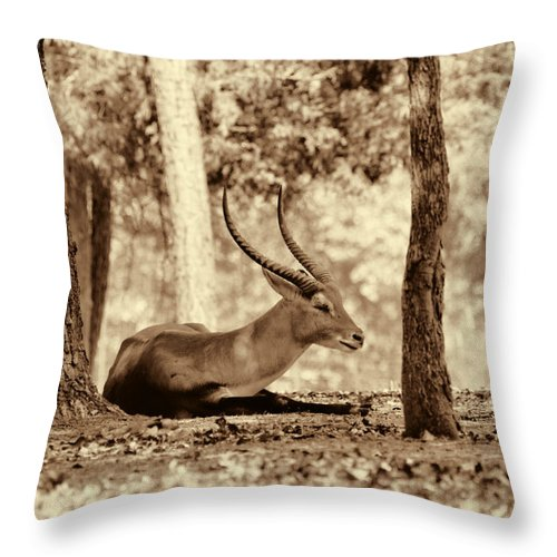 Antelope Throw Pillow featuring the photograph Napping by Douglas Barnard