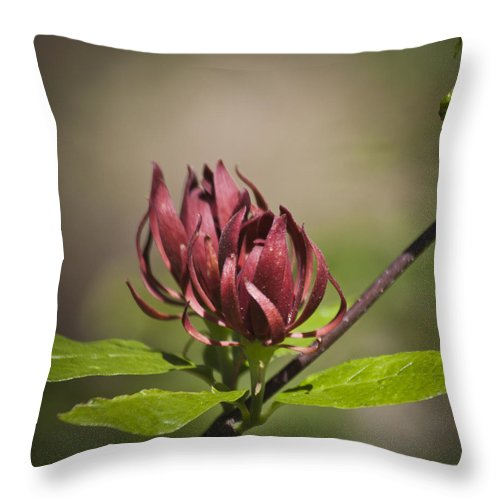 Calycanthus Throw Pillow featuring the photograph Native Sweetshrub by Teresa Mucha