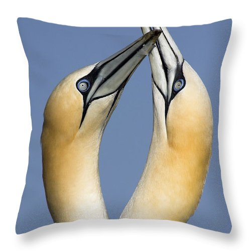 Fn Throw Pillow featuring the photograph Northern Gannet Morus Bassanus Pair by Jasper Doest