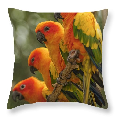 Attention Throw Pillow featuring the photograph Orange Parakeets Chiang Mai Thailand by Stuart Corlett