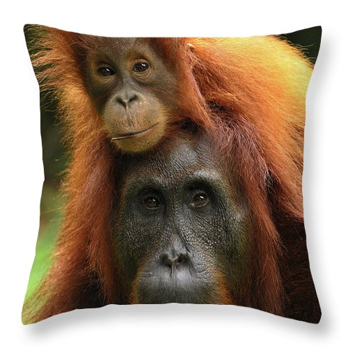 Mp Throw Pillow featuring the photograph Orangutan Pongo Pygmaeus Female by Thomas Marent
