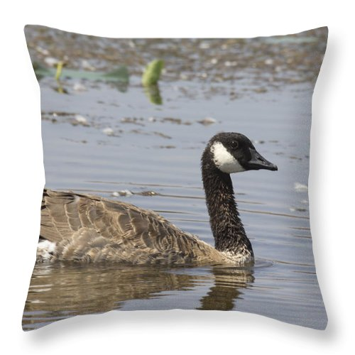 Canadian Goose Throw Pillow featuring the photograph Paddling by Douglas Barnard