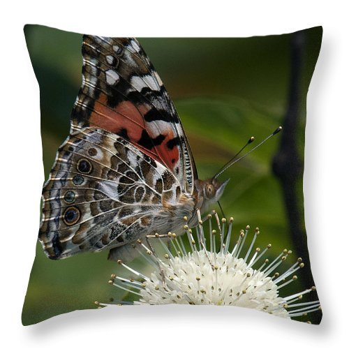 Study Throw Pillow featuring the photograph Painted Lady Butterfly Din049 by Gerry Gantt
