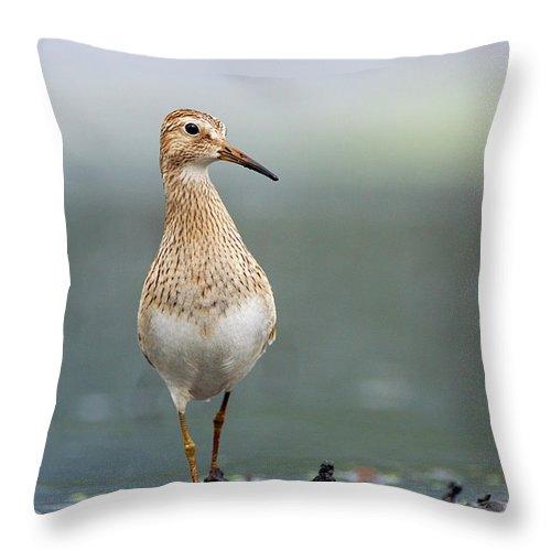 Mp Throw Pillow featuring the photograph Pectoral Sandpiper Calidris Melanotos by Scott Leslie