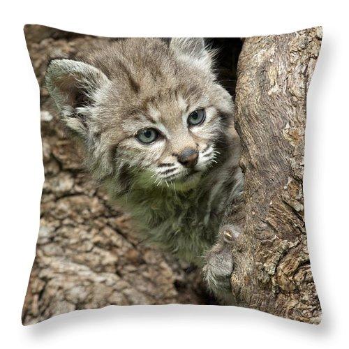 Bronstein Throw Pillow featuring the photograph Peeking Out - Bobcat Kitten by Sandra Bronstein