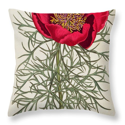Peony: Paeonia Tennifolia Throw Pillow featuring the painting Peony by William Curtis