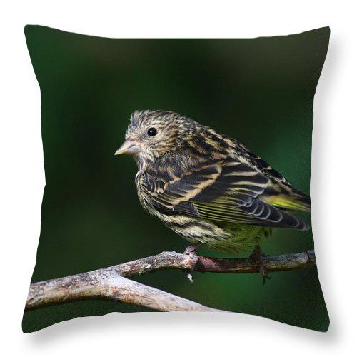 Doug Lloyd Throw Pillow featuring the photograph Pine Siskin by Doug Lloyd