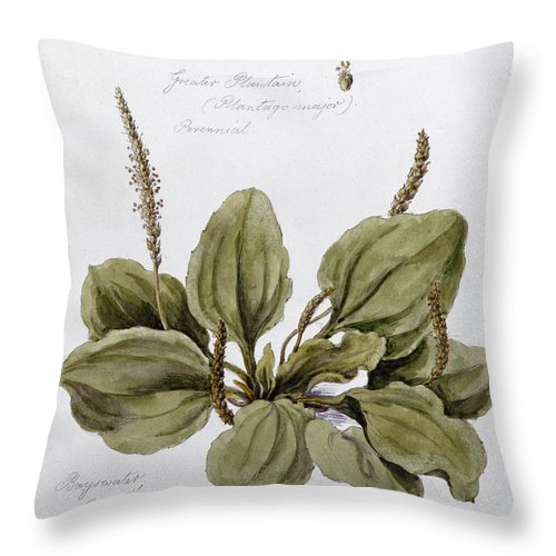 Plant; Leaves; Botanical Drawing; Botany Throw Pillow featuring the painting Plantain by WJ Linton