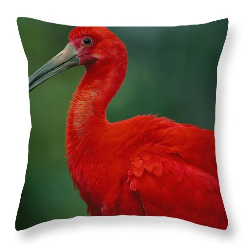 Animals Throw Pillow featuring the photograph Portrait Of A Captive Scarlet Ibis by Joel Sartore