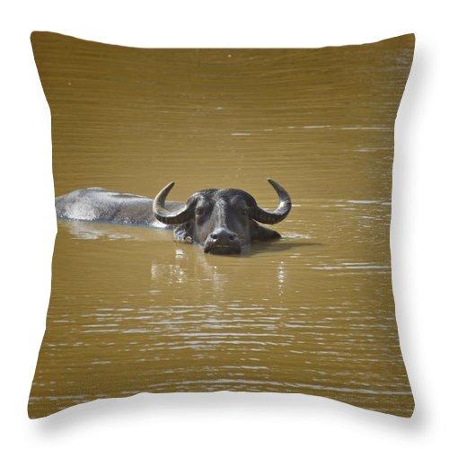Water Buffalo Throw Pillow featuring the photograph Preferred Environment by Douglas Barnard