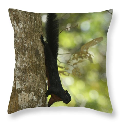 Borneo Throw Pillow featuring the photograph Prevosts Squirrel Facing Downward by Tim Laman