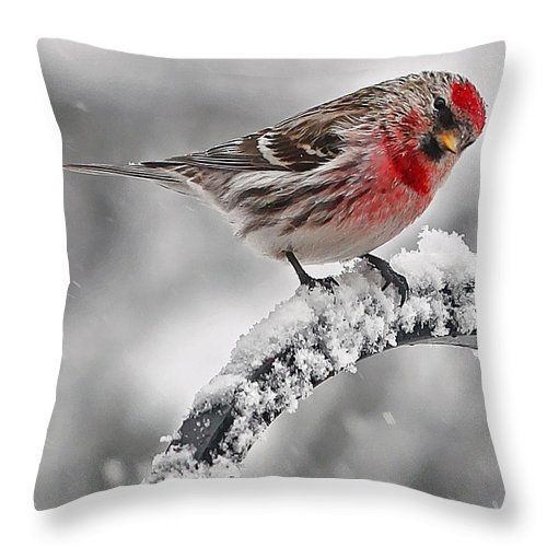 New England Throw Pillow featuring the photograph Red Poll - Cold But Hungry by Thomas J Martin