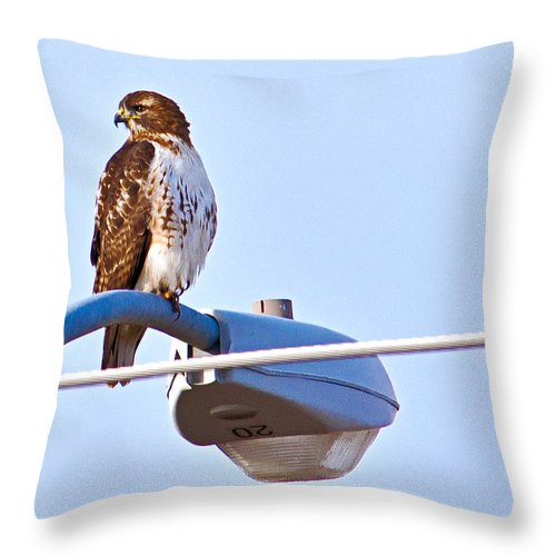 Red-tailed Hawk Throw Pillow featuring the photograph Red-tailed Hawk Perched by Edward Peterson