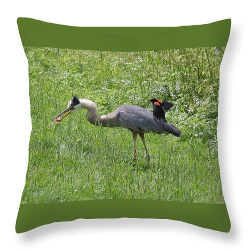 Red-winged Blackbird Throw Pillow featuring the photograph Red-winged Blackbird Attacking Great Blue Heron by Doris Potter
