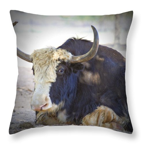 Cattle Throw Pillow featuring the photograph Resting by Douglas Barnard