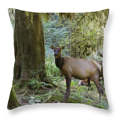 Mp Throw Pillow featuring the photograph Roosevelt Elk Cervus Elaphus by Konrad Wothe