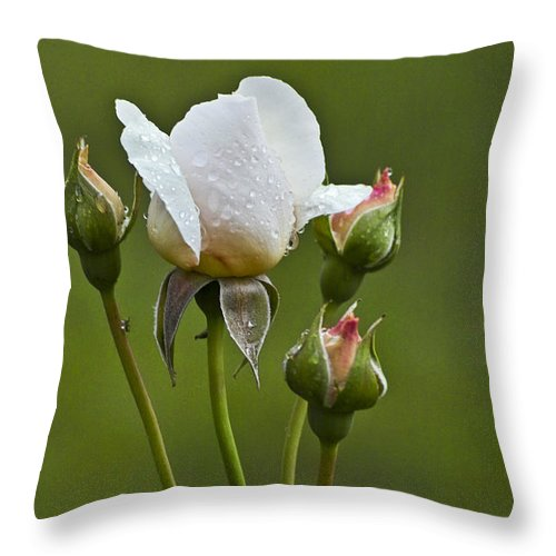 Rose Throw Pillow featuring the photograph Rose Flower Series 6 by Heiko Koehrer-Wagner